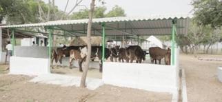 L'étable et les vaches