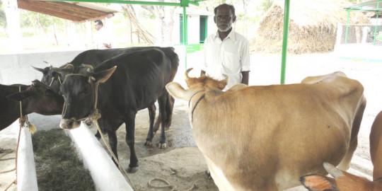 Les vaches à l'étable