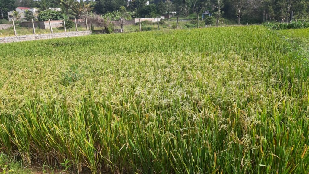 Nouvelles terres cultivées